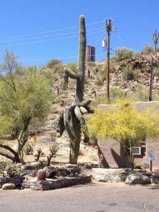 Detta är en Saguaro kaktus. Saguarokaktusar växer rakt uppåt och börjar inte få sin första arm förrän de blir kring 50 år gamla. Vi såg en hel massa, väldigt gamla Saguaro kaktusar!