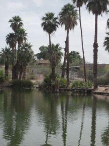 Något som jag inte hade väntat mig i detta ökenklimat var alla palmer! De är ju nog planterade och förekommer inte naturligt i öknar, men i alla fall… Denna blid togs utanför Phoenix Zoo.