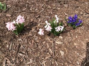 Hyacinterna i rabatten trivs trots veckan kyliga väder....